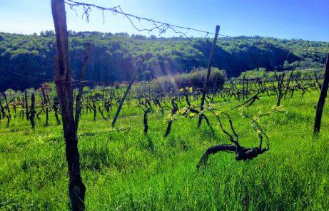 Slovenian Vineyards